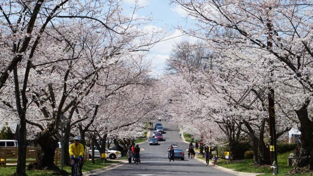 PHOTOS: Kenwood Cherry Blossoms}