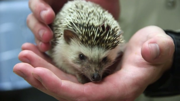 DC Debates Legalizing Hedgehogs as Pets