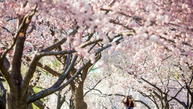 "Cherry Blossoms Reach ""Puffy White"" Stage"