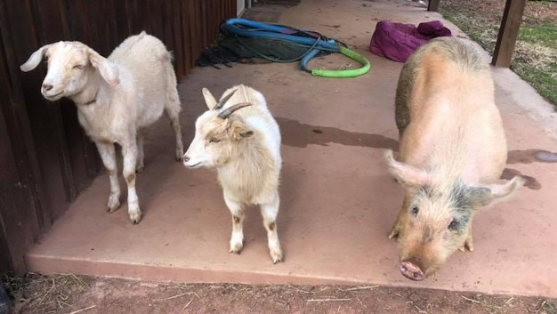 On the Lam: 2 Goats, Pig Found Wandering the Streets in Va.