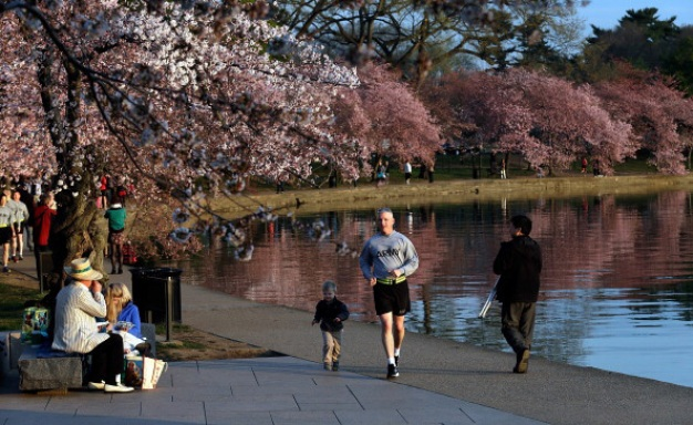 Cherry Blossoms Reach Peak Bloom on Target in D.C.