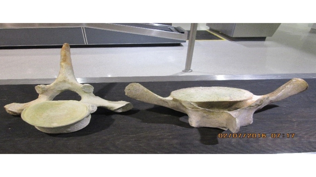 Possible Whale Bones Found in Passenger's Luggage at BWI