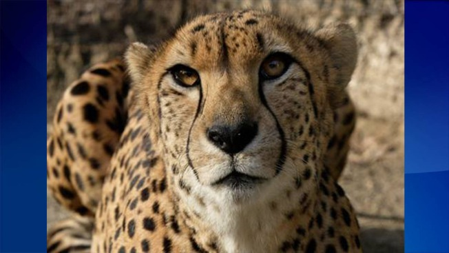 Third Elderly Cheetah, Granger, Euthanized at National Zoo