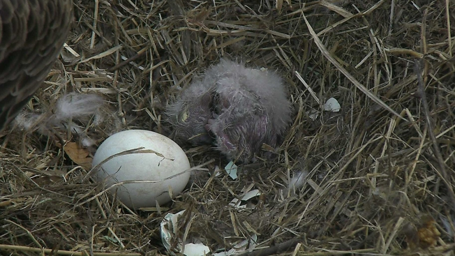 First Eaglet Egg Hatches at National Arboretum