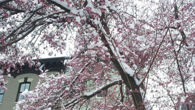 Cherry Blossoms Ready Themselves Under Blanket of Snow