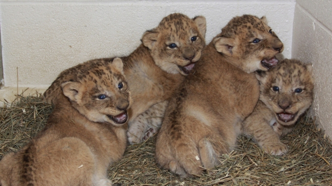 2 Lion Cubs to Make (Adorable) Debut at National Zoo