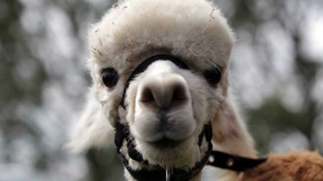No, You Can't Expense That Llama: The Year's Wackiest Claims