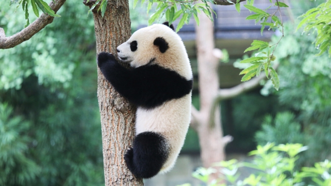 Sherwood's Notebook: Pandas, Not Panic, at the Zoo