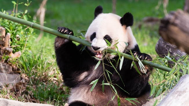 National Zoo's Giant Pandas Getting Ready for Breeding Season
