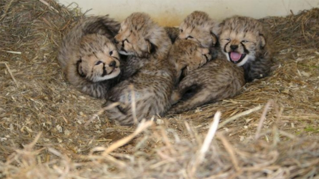 2 Cheetah Cub Litters Born at Smithsonian Facility in Virginia
