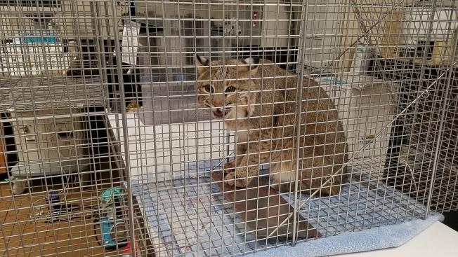 PHOTOS: Ollie the Bobcat Undergoes Vet Exam After Escape