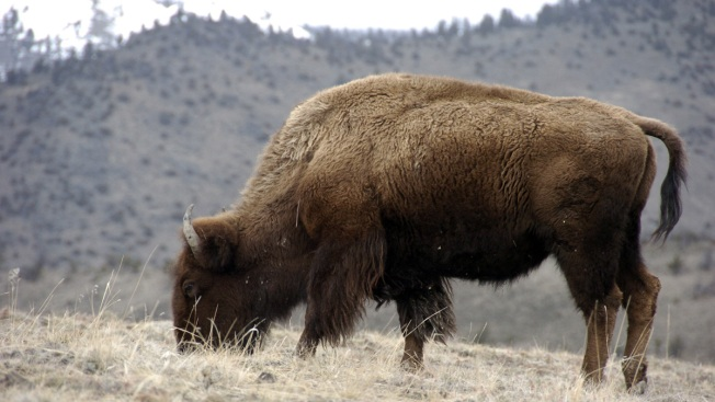 Judge: US Must Reconsider Yellowstone Bison Protections