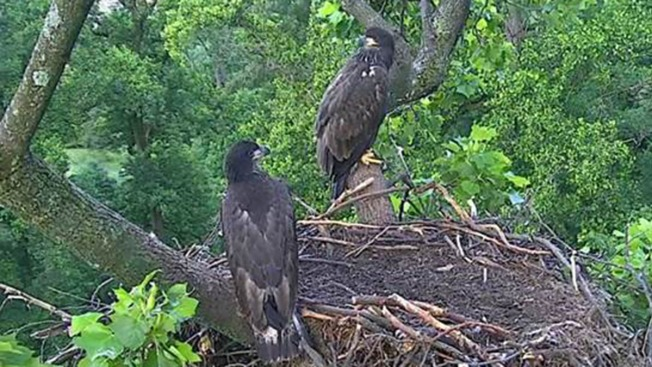 Eaglets Take First Flight at National Arboretum