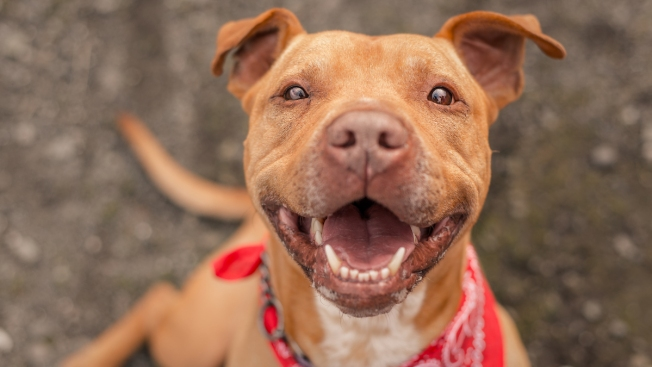 Misunderstood Breed: Pit Bull Mix Goes From Stray to Service Dog