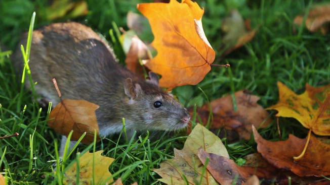 Rats! DC Is Nation's 5th Rattiest City, Company Says