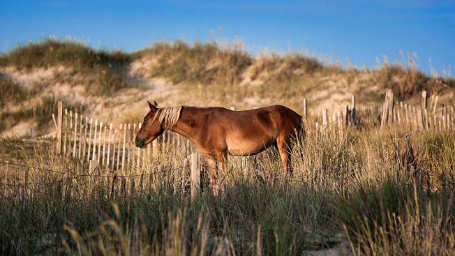 'Butts to the Wind': OBX's Wild Horses Ready to Ride Out Dorian