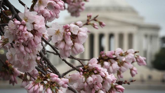 LIVECAM: See the Cherry Blossoms From Your Desk