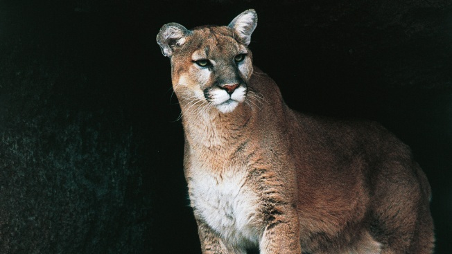 Mountain Lion Spotted Near Elementary School in Prince William County
