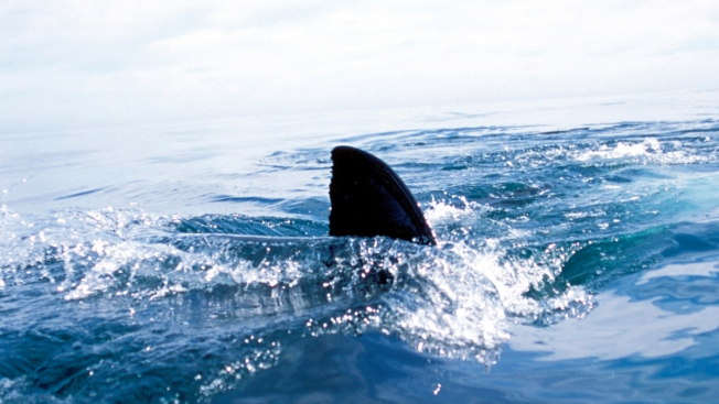 Man Records Own Shark Attack While Spearfishing in Fla.