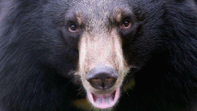 Bear Attacks Packers Fan in Florida