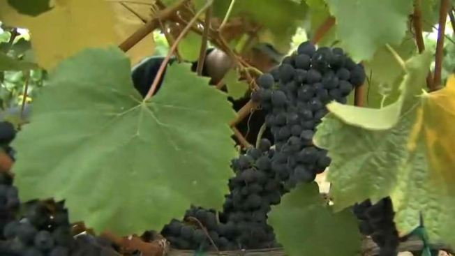 Virginia Winery Loses Grape Harvest in Nighttime Heist