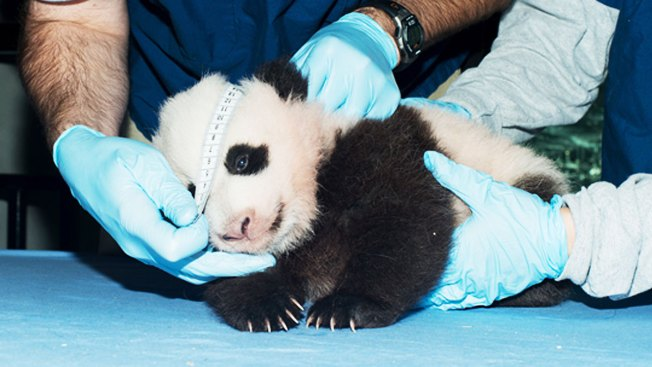 National Zoo's Panda Cub Now Weighs 8 Pounds; Will Soon Be Walking, Teething