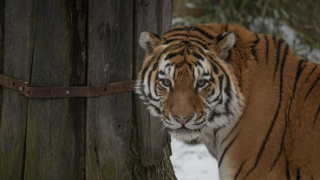 National Zoo Debuts First Amur Tiger Since 1948