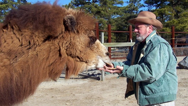 NJ's Pigskin-Picking Camel Dies Before Picking Super Bowl Winner