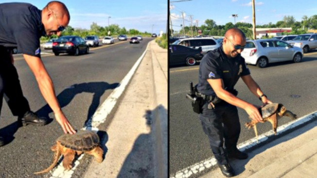 Police Officer Helps Turtle Cross The Road