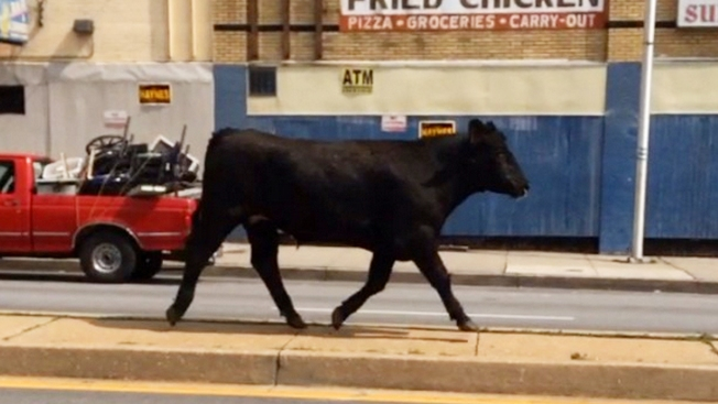 Bull Runs Loose in Baltimore, Shot by Police