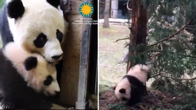 You Must Watch This Video of Bei Bei Getting Stuck on a Tree Branch