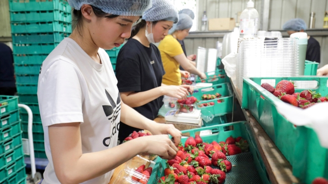 Farm Supervisor Charged in Australia Strawberry Tampering