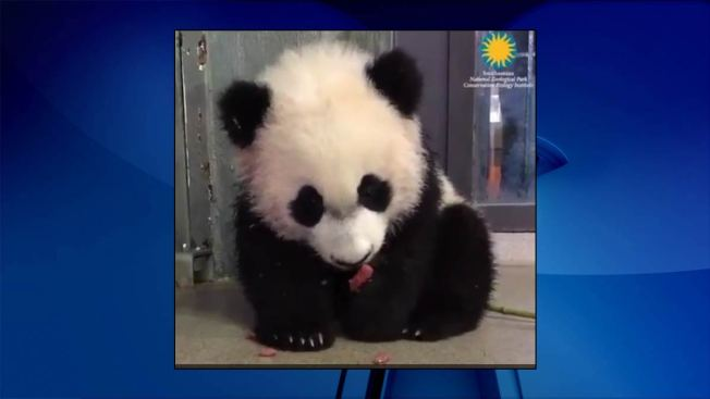 Watch Bei Bei Enjoy 'Leaf Eater' Biscuits With His Adorable Panda Paws