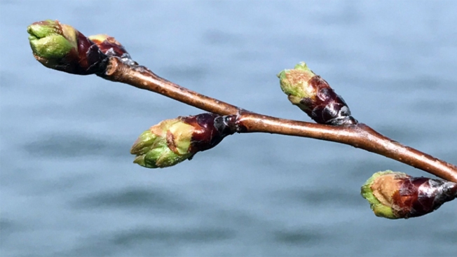 Spring Gets Ready to Bloom: Cherry Blossoms Reach Phase 2 of 6