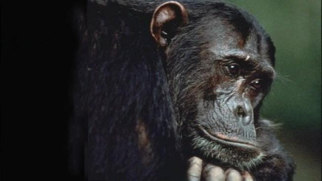 USDA Cites Virginia Private Zoo for Chimpanzees' Escape