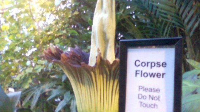 "Giant ""Corpse Flower"" Blooms at U.S. Botanic Garden"