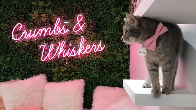 Play With Cats at Georgetown's New Pop-Up Kitten Lounge