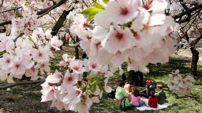 Think You Know Cherry Blossoms? Take Our Quiz