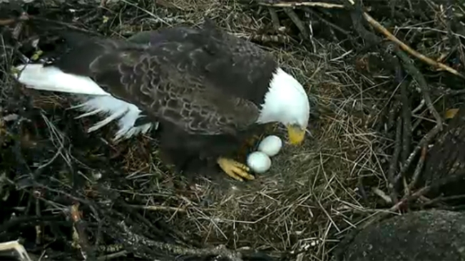 DC Eagle Cam Shows Eaglet Ready To Hatch
