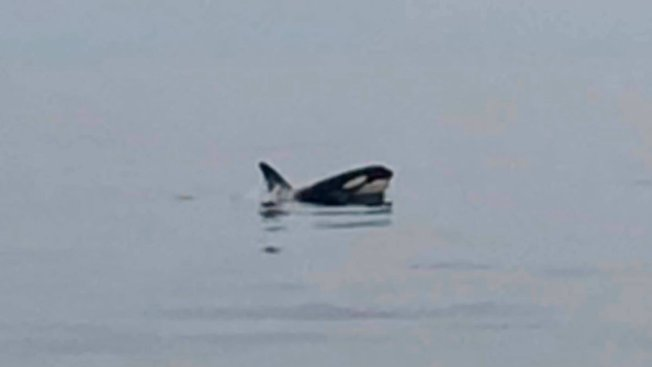 Two Killer Whales Spotted Less Than 70 Miles From Virginia Beach Coast, Charter Boat Captain Says