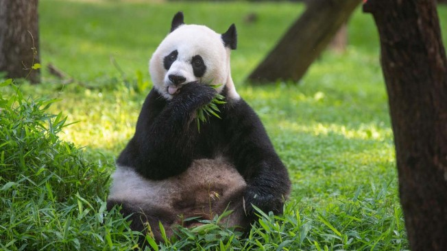 Panda Watch Is Over: Mei Xiang Is Not Pregnant, Zoo Says