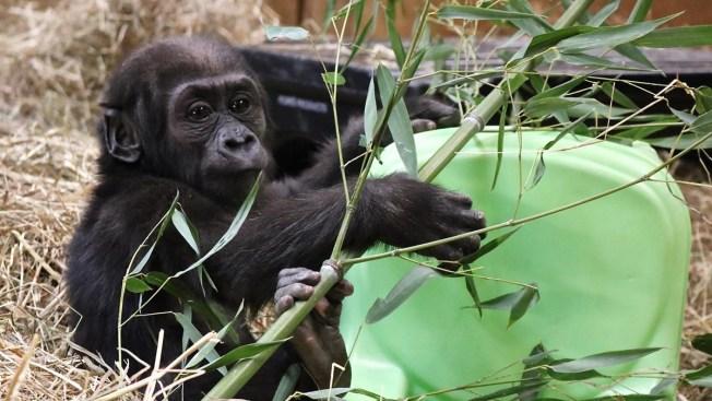 National Zoo's Baby Gorilla Moke Recovering From Broken Leg