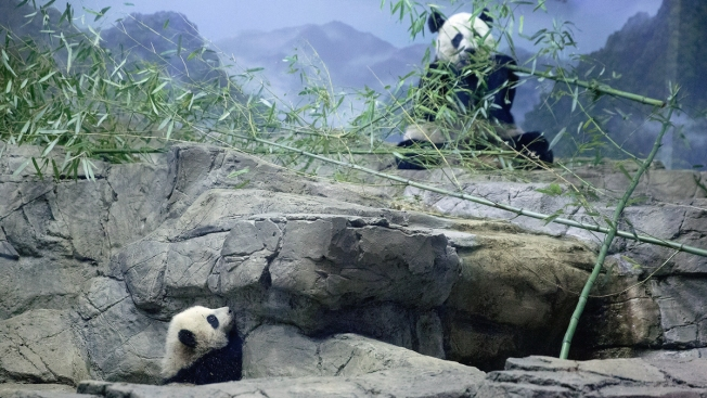 National Zoo's Giant Pandas Oversharing About Baby-Making... Again