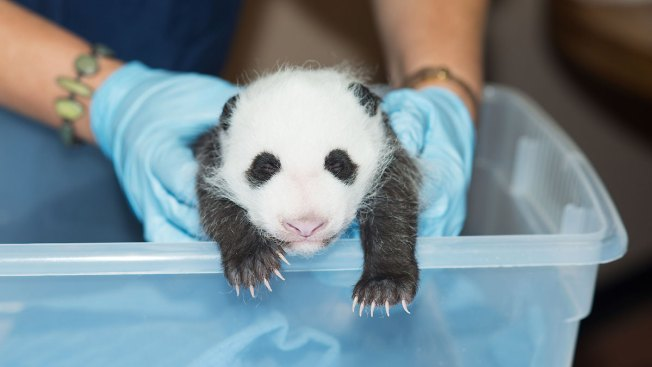 "National Zoo's ""Wiggly"" Panda Cub Gets Another Exam; Now Weighs Three Pounds"