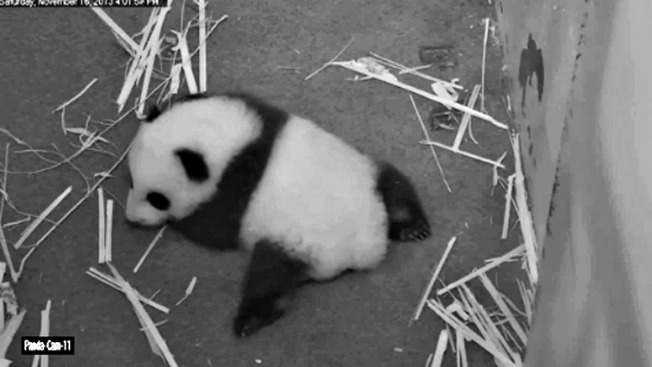 National Zoo's Panda Cub Takes First Steps