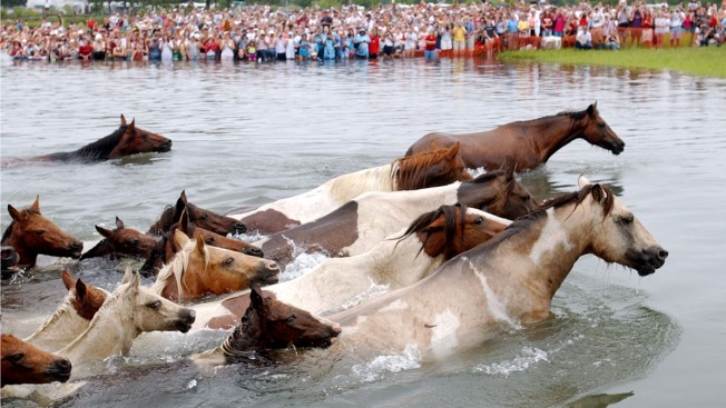 Annual Chincoteague Pony Swim Set for Wednesday