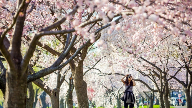 Cherry Blossoms' Peak Bloom Dates Pushed Back 5 Days