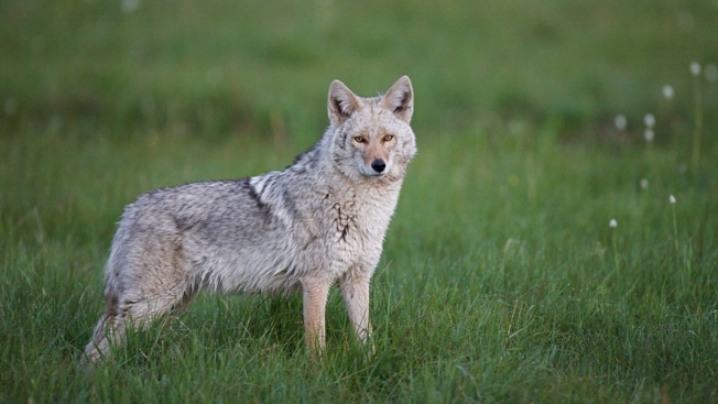 Prince William County Authorities Warn Residents About Coyotes