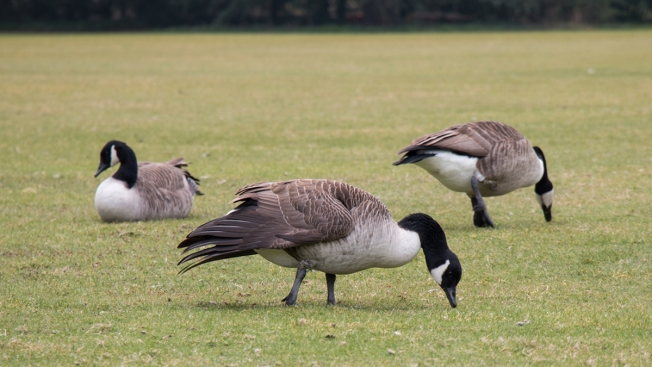 Park Service Wants Dogs to Chase Geese off National Mall