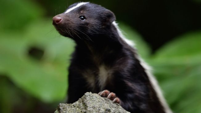 Texas Battles Rabid Skunks From the Sky